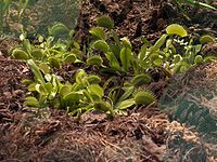 Dionaea muscipula DominioEukaryota RegnoPlantae DivisioneMagnoliophyta ClasseMagnoliopsida OrdineNepenthales FamigliaDroseraceae GenereDionaea SpecieD. muscipula