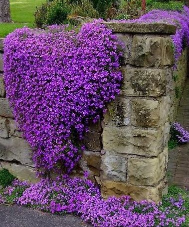 Creeping phlox limestone wall