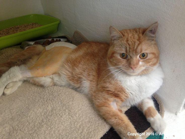 MAURICE, chat abandonné, accidenté, fracture de l'Ilium