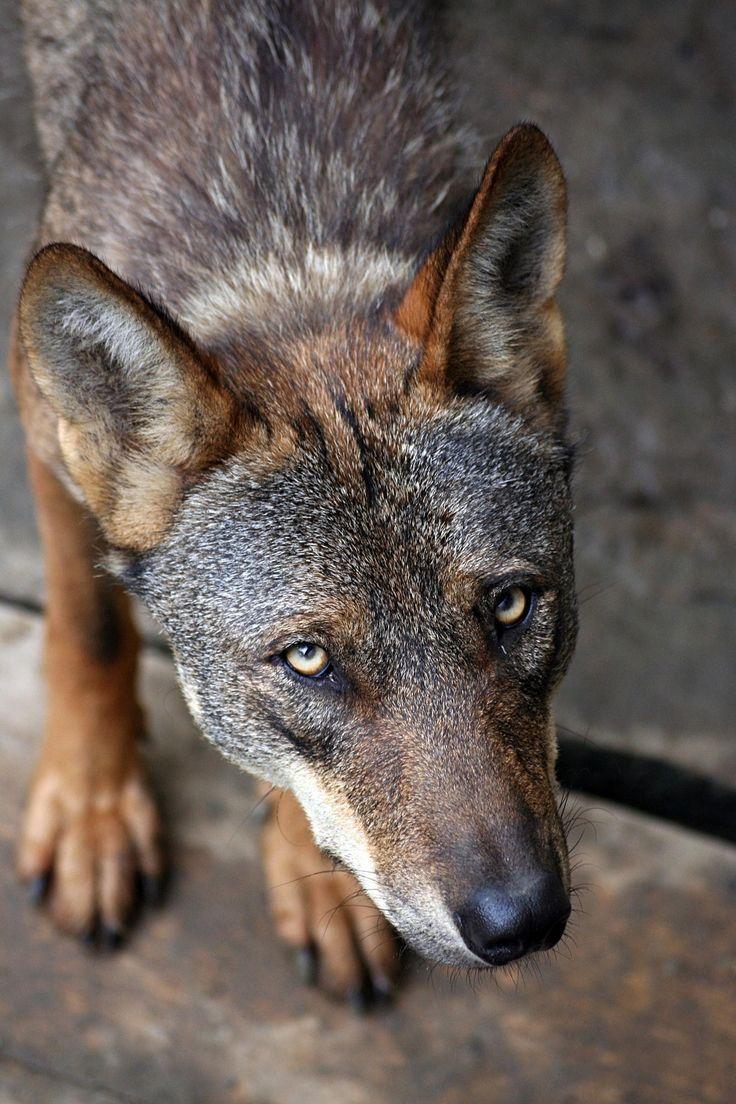 Iberian+Wolf+-+null