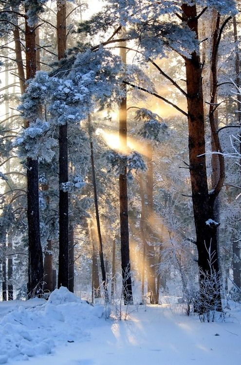wonderful light between the snow-covered trees