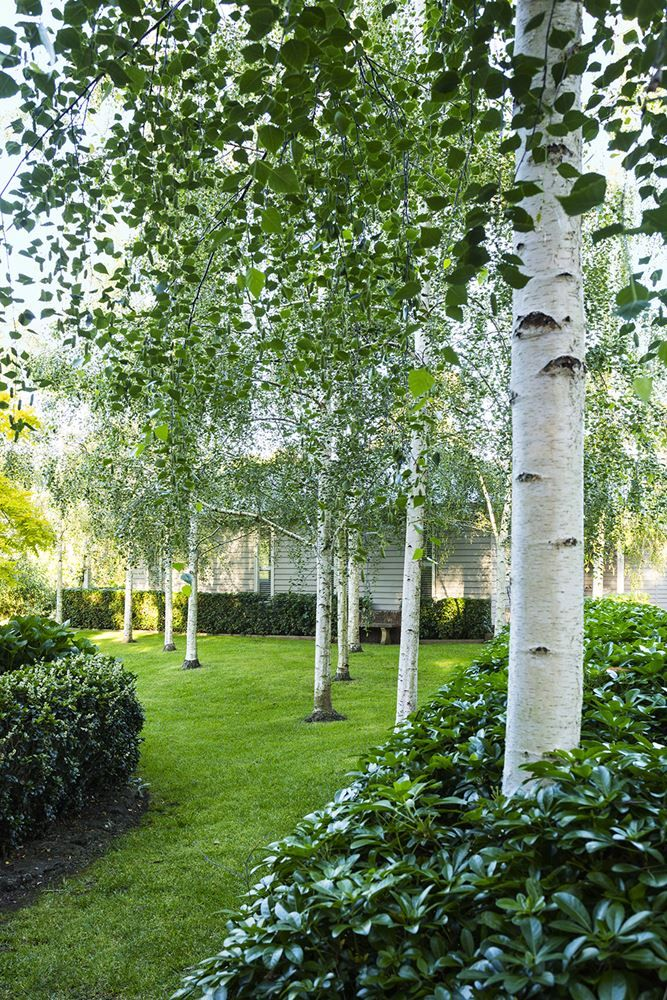 """""""I read that Edna Walling tossed a bucket of potatoes out across the lawn to get a random planting pattern, so we did that here,"""" Jenny says of her birch lawn. """"We tossed the potatoes and planted a birch where each potato landed. It worked well."""": [object Object]"""
