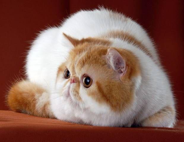 Exótico   Tudo Sobre a Raça de Gato Exótico