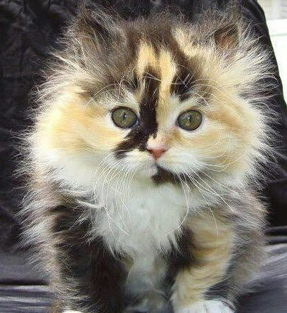 What an adorable Calico kitten…