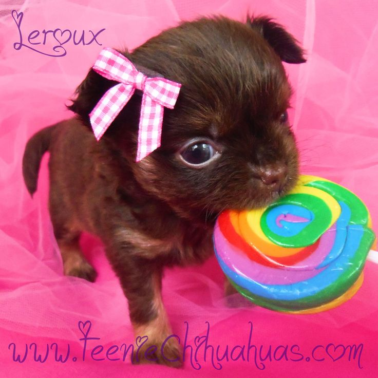 Chihuahua Baby Rainbow Love