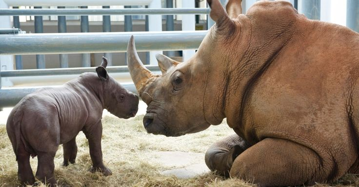 Kendi, a female white rhinoceros 13 years watches his puppy in the park Animal Kingdom in Orlando.The cub was born on Friday (4) and is the ninth baby white rhino born at Disney park. Kendi was first