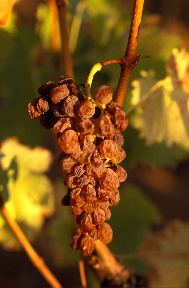 Vin de Constance on the vine
