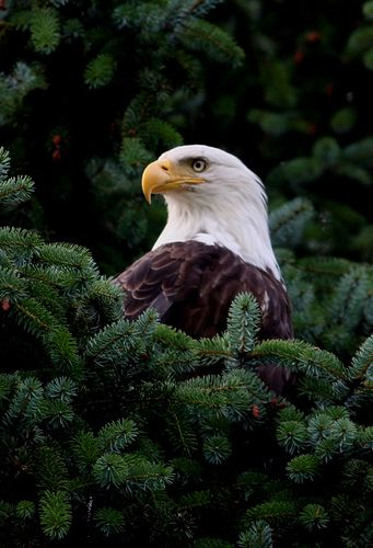 Bald Eagle in Juneau, Alaska. This is Absolutely Stunning.