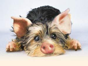 Schweinehund photo: Schweinehund Schweinehund.jpg