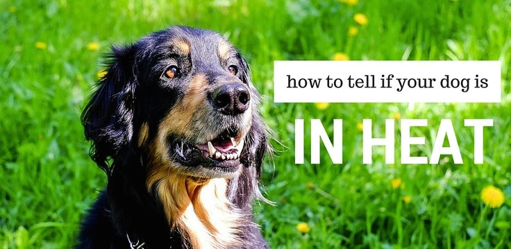 An Informational Guide on Female Dogs in Heat  If you're a first time owner of a female dog, the process of estrus, or heat, could come as surprise. However, with this helpful guide, you'll learn what