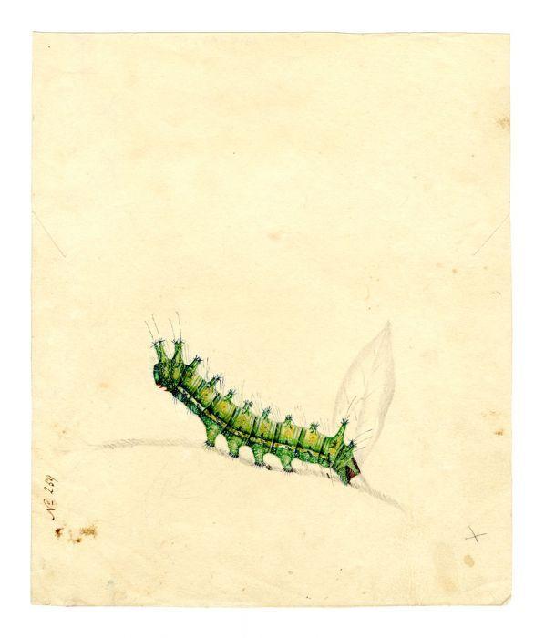 Emperor Gum Moth (caterpillar)