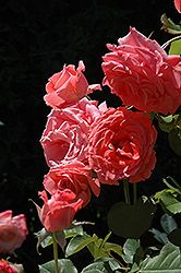 Click to view large photo of Climbing America Rose (Rosa 'Climbing America') at Stein Gardens & Gifts