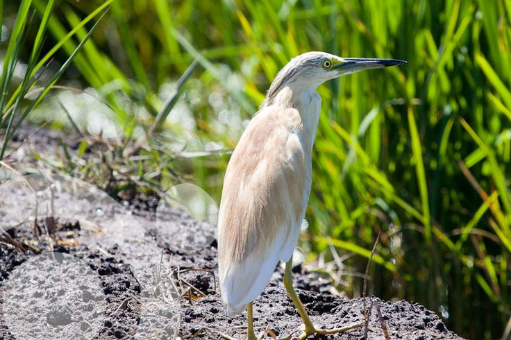 #Birding_in_Spain : Squacco heron. All the information to plan your trip to #Bahia_de_Cadiz in www.qnatur.com