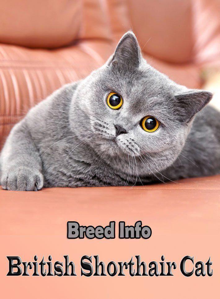 Die Wohl Alteste Englische Katzenrasse Die Britisch Kurzhaar