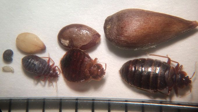 Bed Bug Comparison by life stages. Bed bugs can be different sizes & shapes depending on life stage & feeding status. Comparison from L-R: poppy, sesame, flax & apple seeds