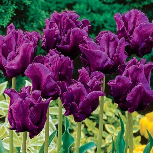 Victoria S Secret Tulip Tulip Tulip Bulbs Tulips