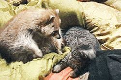 I love you, cat... Your cat scent... is intoxicating. The raccoon is petting the kitty! So cute!