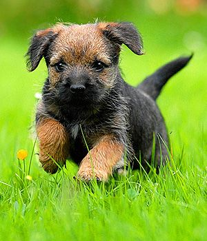 Border Terrier puppy - site provides information on breed characteristics