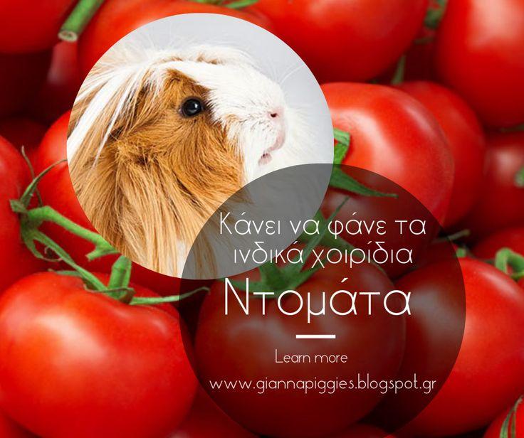 Can guinea pigs eat tomato? Κάνει να φάνε τα ινδικά χοιρίδια ντομάτα? Learn more www.giannapiggies.blogspot.gr