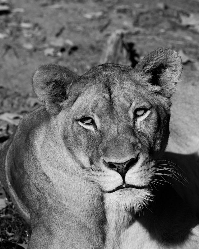 Lioness, Nature Photography, Black and White Fine Art ...