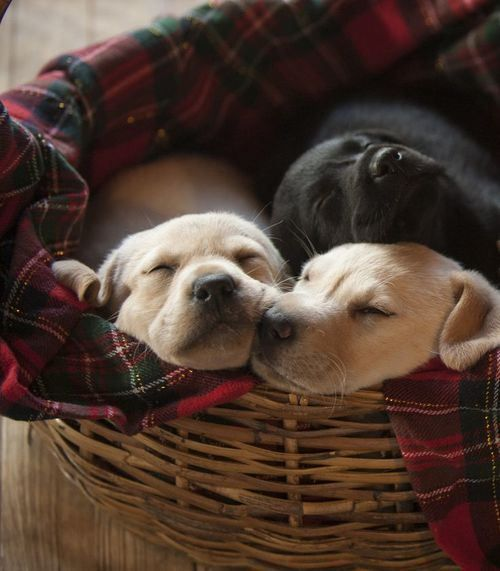 This is what I want from Santa, a basket full of retriever or border collie puppies.