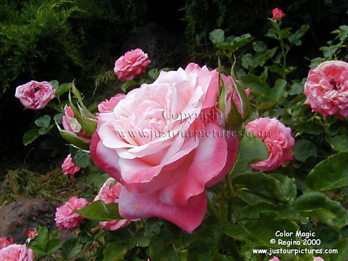 1000 Images About Beautiful Blooms Hybrid Tea Roses On Pinterest Barbra Streisand Pictures