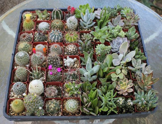 50 Succulent & Cactus Collection  Awesome for Party or Wedding Favors and Gifts succulents plants lot
