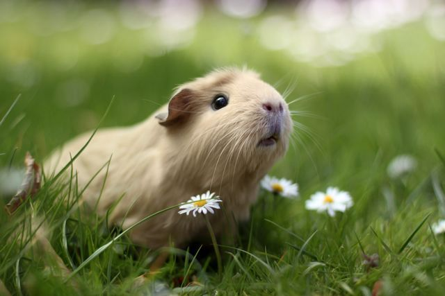 """""""Guinea Pig in Nature"""" - Cute Photo Shoots With Guinea Pigs by Megan van der Elst"""