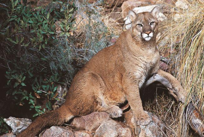 Le 25 migliori idee su leone di montagna su pinterest for Cabina di montagna grande orso