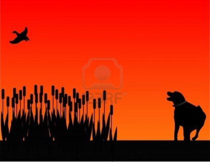 Labrador retreiver scarying out a duck from the bull rushes. Stock Photo - 5766233