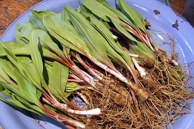 Have you foraged for ramps this spring?