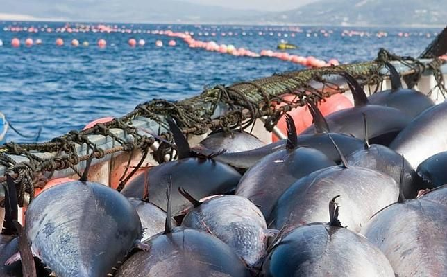Las almadrabas estrenan la temporada del atún rojo salvaje