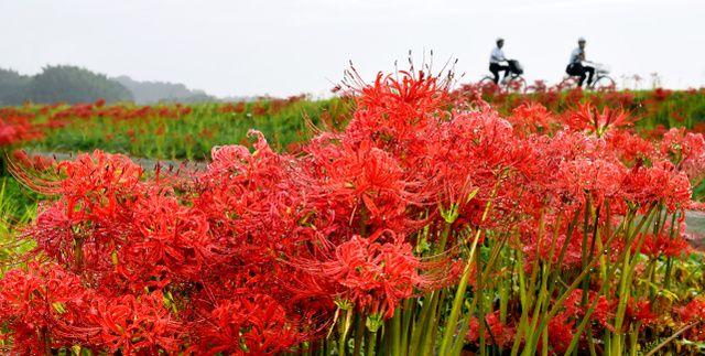 【熊本地震】 熊本地震で被災した熊本県益城町の東部で23日、「ふるさと彼岸花まつり」が始まった。木山川沿いの約2キロにわたって咲く50万本の彼岸花を楽しめる。25日までの期間中、お茶の振る舞いやイモやミカンといった地元の農産物の販売などもある。