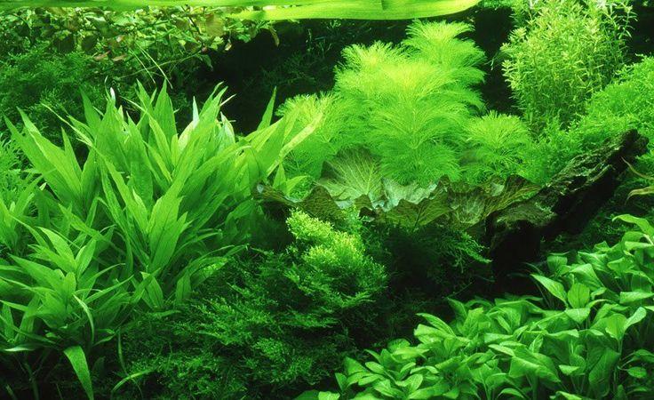 Carpet aquarium plants