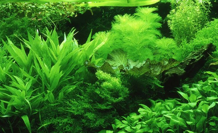 Carpet aquarium plants