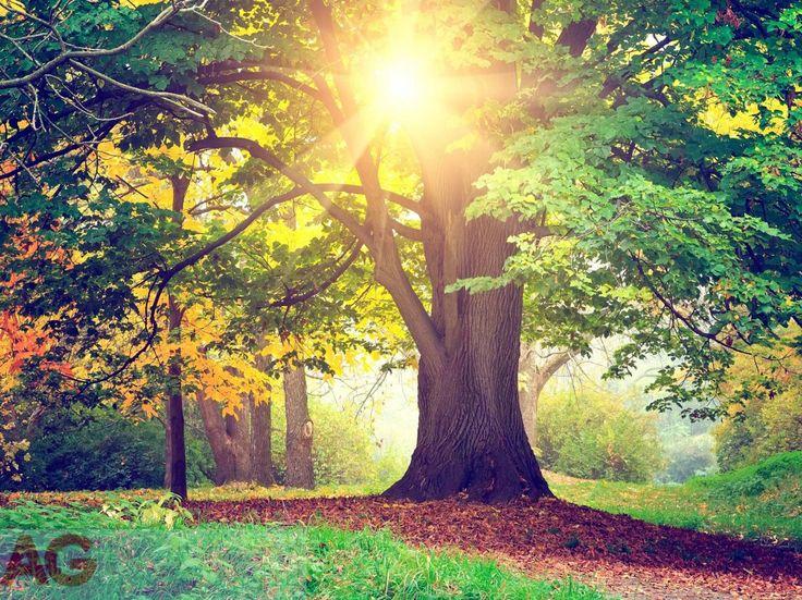 Fototapeta papírová AG Design Listnatý strom FTXXL-1464, rozměry 360 x 270 cm | Ochrana tapet a fototapet