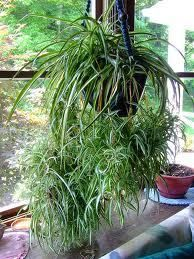 76 best images about hanging houseplants on pinterest for Spider plant cats
