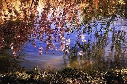 Cherry Blossoms: Japanese Pond: Brooklyn Botanic Garden: New York City: Watch the sunlight illuminate the cherry blossoms in the springtime.