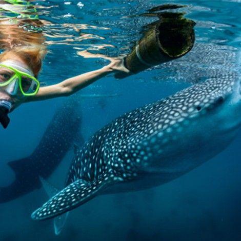Durante el verano, el más grande de todos los tiburones se congrega en aguas cercanas a Cancún.  Nadar junto a estos gigantes es una oportunidad única que nunca olvidarás Los tiburones ballena son los peces más grandes del mundo, miden hasta 12 metros y pesan hasta  15 toneladas, por suerte, son totalmente inofensivos y pacíficos. Durante sus vacaciones en Cancún, tendrás la oportunidad de conocer de cerca estas maravillosas criaturas.