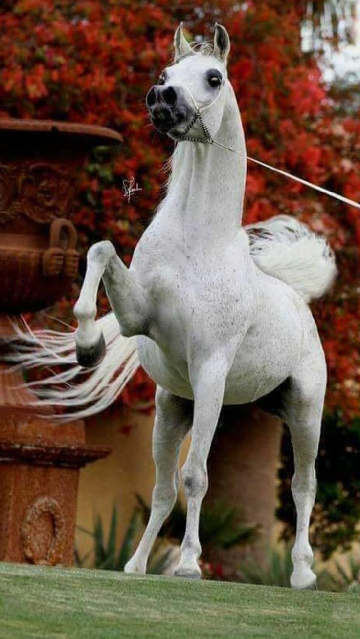 Feisty Arabian horse pawing the air.