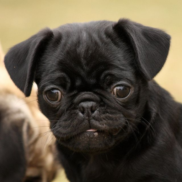 BLACK PUG PUPPIES | Black pug puppy | Flickr - Photo Sharing!