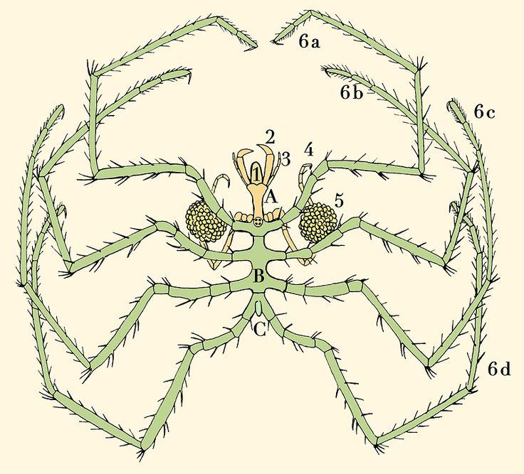 Pycnogonida Nymphon s Sars - Sea spider
