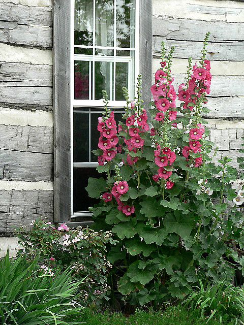 cabin and hollyhocks.