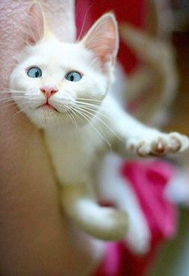BANZAI_oct242014_22 - Banzai the Siamese Kitten - adorable baby!! | photo from MouseBreath.com