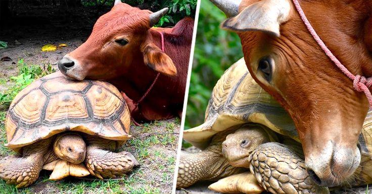 Un ternero que perdió una pata en un accidente conoció a Leonardo, una tortuga gigante, y ahora se han convertido en amigos inseparables que hacen todo juntos