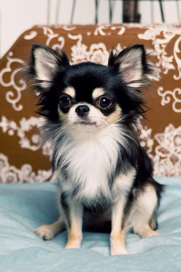 Chihuahua. The smallest breed but be careful of domed shaped heads it shows an illness. I've found them to be yappy and can have small dog syndrome due to lack of training and not being treated like a dog.  Stay away from Teacups the are just dogs born too soon and thus sickly, the are NOT a breed.