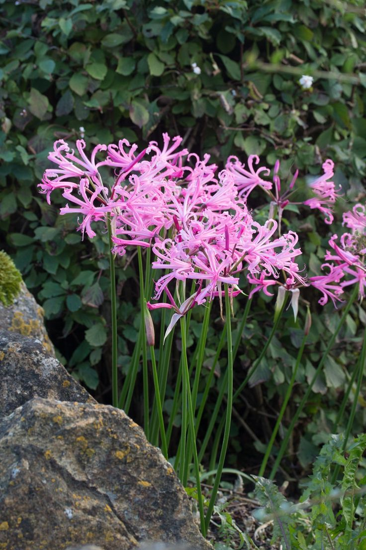 8 best garden ideas and purchases images on pinterest perennial nerine bowdenii can be ordered online from avon bulbs along with a fantastic range of spring summer and autumn flowering bulbs mightylinksfo Gallery