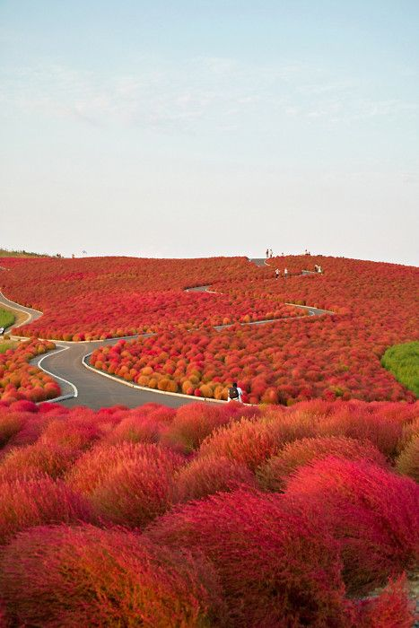 travelingcolors: Kochia Hill, Hitachinaka City, Japan Spectacular