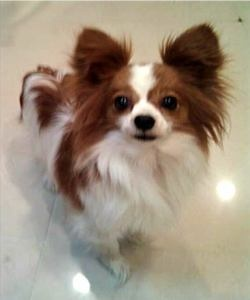 Rosie is an adoptable Papillon Dog in West Caldwell, NJ. Rosie was given up to a kill shelter at the age of 8 yrs. old. Owner claims the dog is not house broken. She is currently being vet checked, wi...