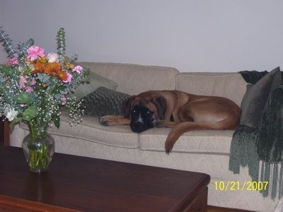 st. bermastiff: Rescue Dogs, Perfect Dogs, Dogs Breeds, Hybrid Dogs, Understands Dogs, Dogs Behavior, Bad Dogs